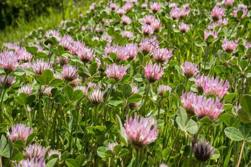 Invasief nam hirtumwildflowers van de klaverklaver bloeiend op een gebied, de baaigebied van San Francisco, Californië toe stock afbeelding