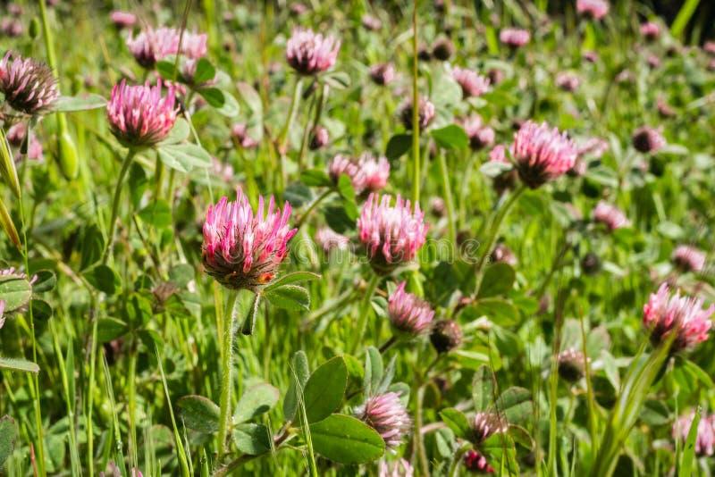 Invasief nam hirtumwildflowers van de klaverklaver bloeiend op een gebied, de baaigebied van San Francisco, Californië toe royalty-vrije stock fotografie