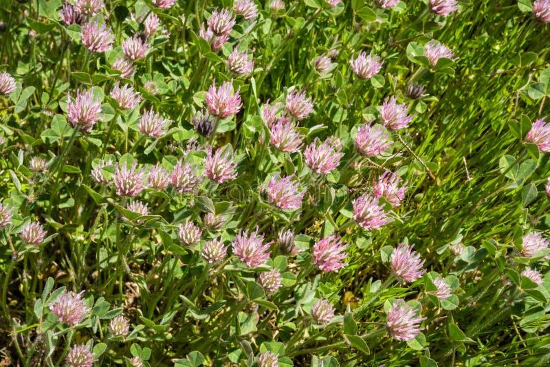 Invasief nam hirtumwildflowers van de klaverklaver bloeiend op een gebied, de baaigebied van San Francisco, Californië toe royalty-vrije stock foto's