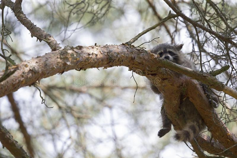 An invasive North American raccoon Procyon lotor sleeping on a branch in a German forest in the summer heat. royalty free stock photo