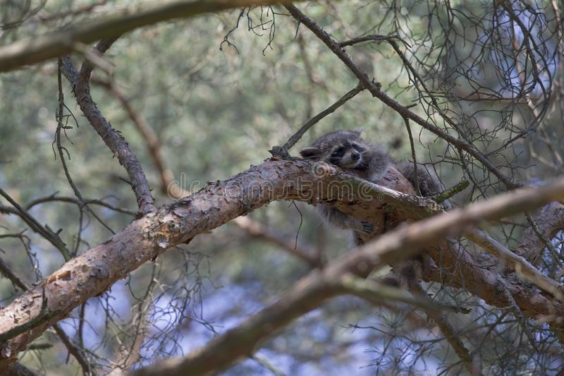 An invasive North American raccoon Procyon lotor sleeping on a branch in a German forest in the summer heat. royalty free stock images
