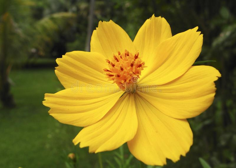 Invasive plant species Cosmos sulphureus also known as sulfur cosmos and yellow cosmos. stock image