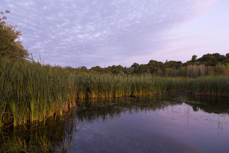 Invasive reeds growing out of the Léon-Provancher marsh during a late summer pink sunrise. Neuville, Quebec, Canada royalty free stock image