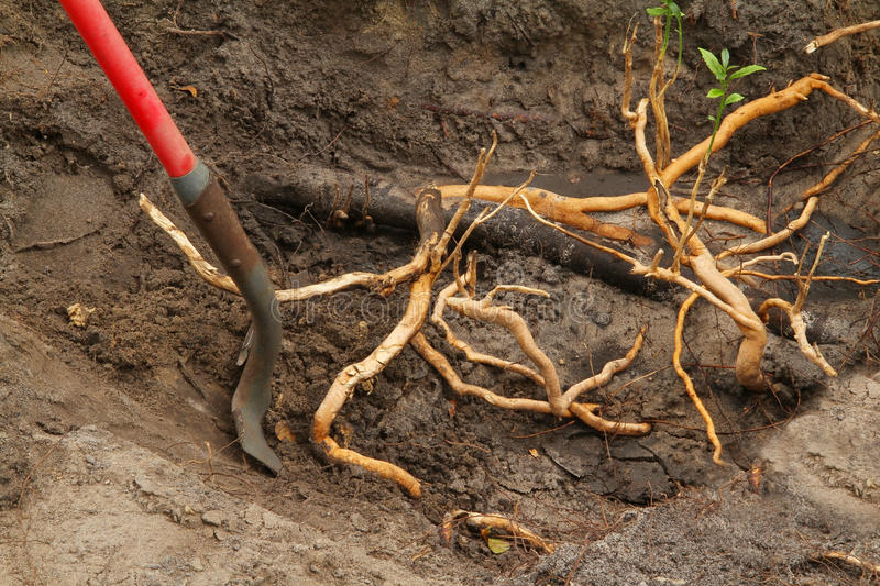 Invasive Roots. Digging invasive roots out of the garden royalty free stock images