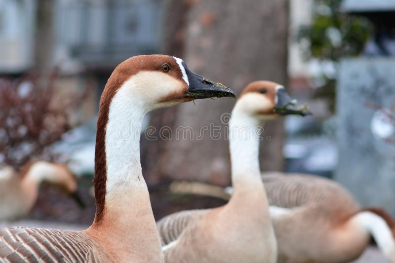 Invasive species Anser cygnoides Swan Goose head with long neck stock photo