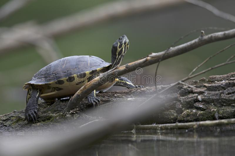 An invasive turtle species perched on a branch and resting in a pond in the centre of Berlin Germany royalty free stock photo