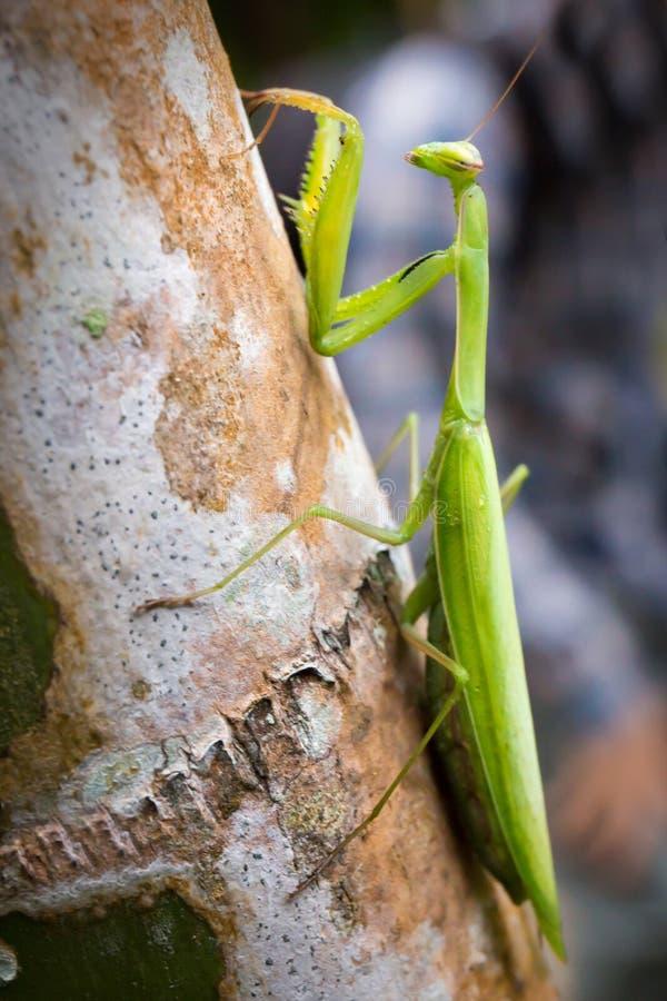 Inverdica il Mantis di preghiera fotografia stock libera da diritti