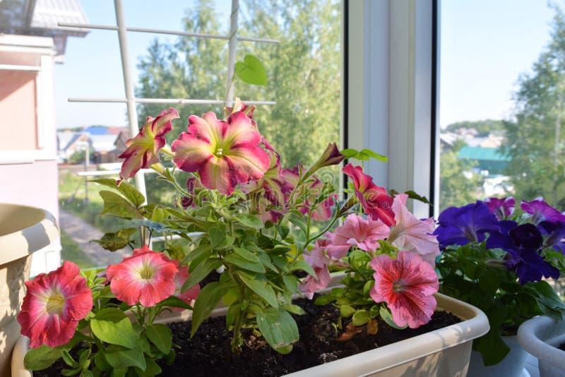 Inverdimento del balcone I bei fiori multicolori della petunia si sviluppano in contenitore fotografia stock libera da diritti