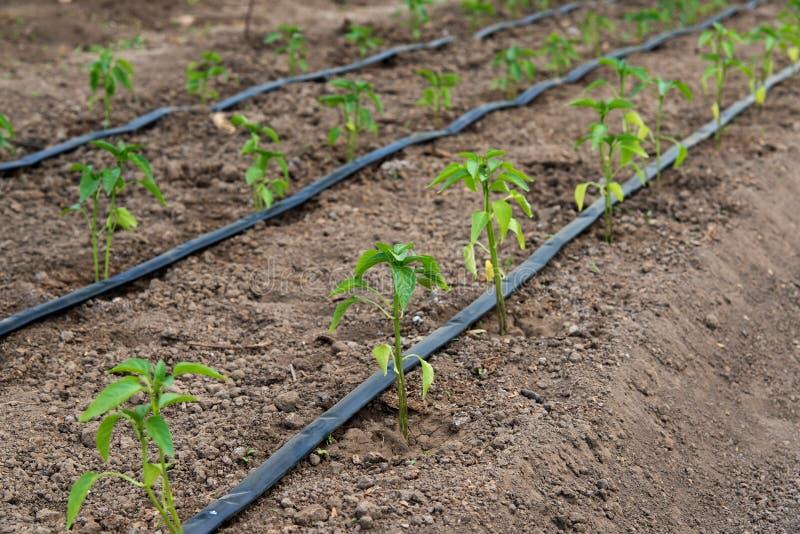 Invernadero con las plantas de la pimienta y el sistema orgánicos de la irrigación por goteo imágenes de archivo libres de regalías
