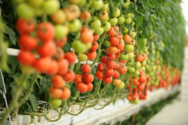 Invernadero del tomate fotografía de archivo libre de regalías