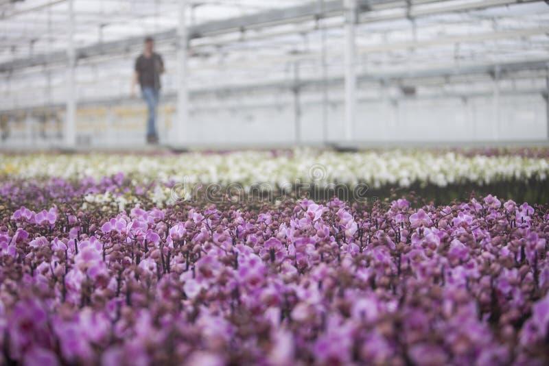 Invernadero holandés con el cultivo total de orquídeas rosadas en Holanda imagen de archivo