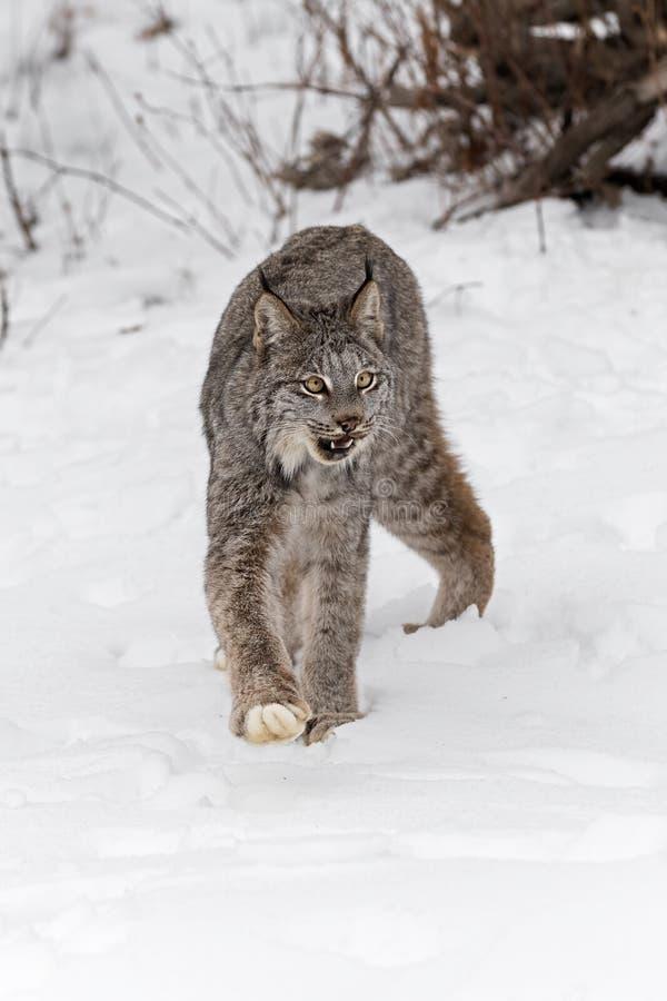 Inverno Aberto da Boca do Canadá Lynx canadensis imagem de stock royalty free