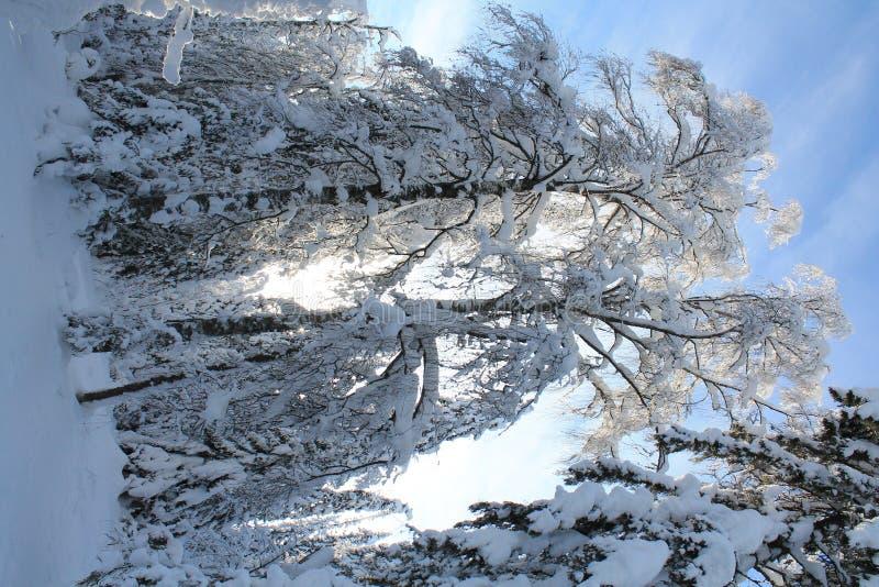 Inverno, alberi, cielo blu immagine stock libera da diritti