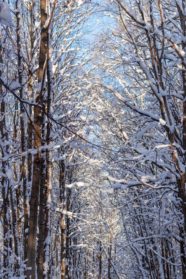 Inverno As árvores de floresta cobriram com a neve macia fresca fotografia de stock