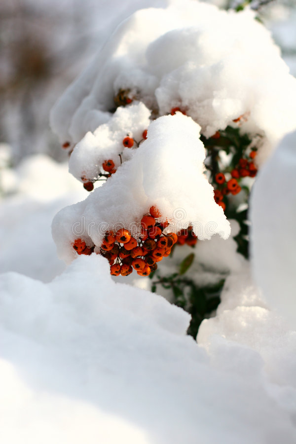 Inverno ashberry fotografia de stock