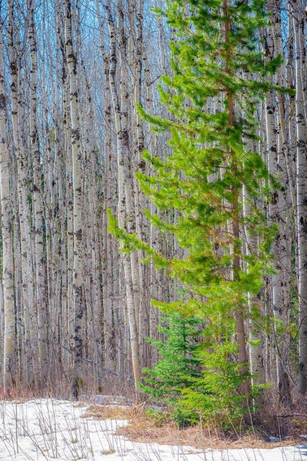 inverno Aspen com as árvores do pinho e do abeto vermelho fotografia de stock royalty free