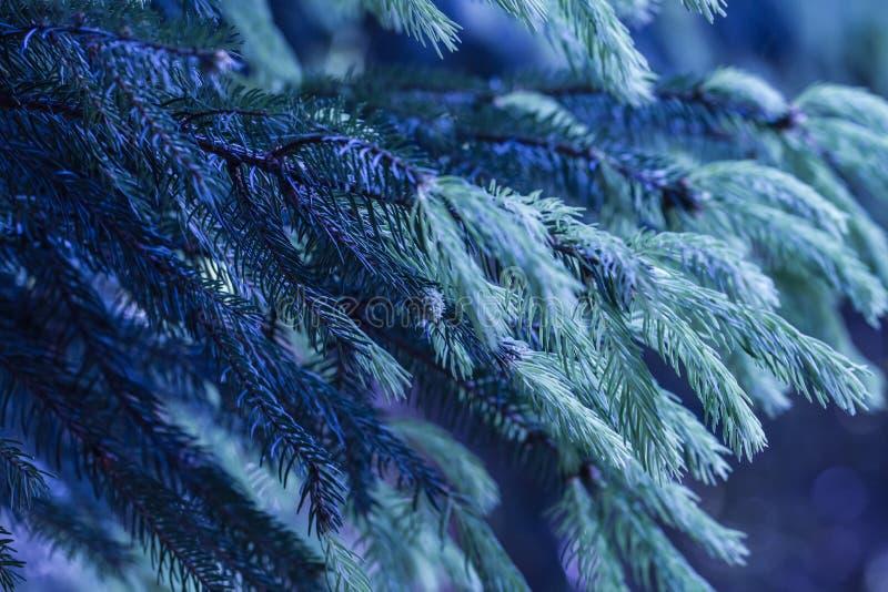 inverno azul com ramos do pinho fotos de stock royalty free