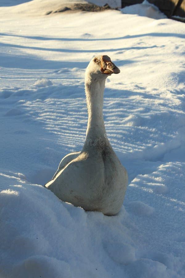 inverno cinzento branco da neve do sol do ganso imagens de stock