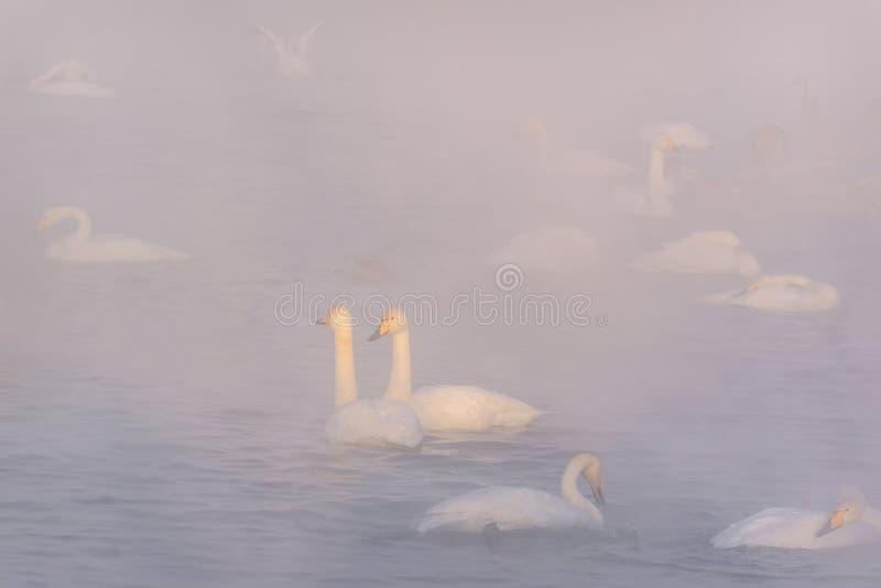 inverno da névoa do lago swans imagens de stock