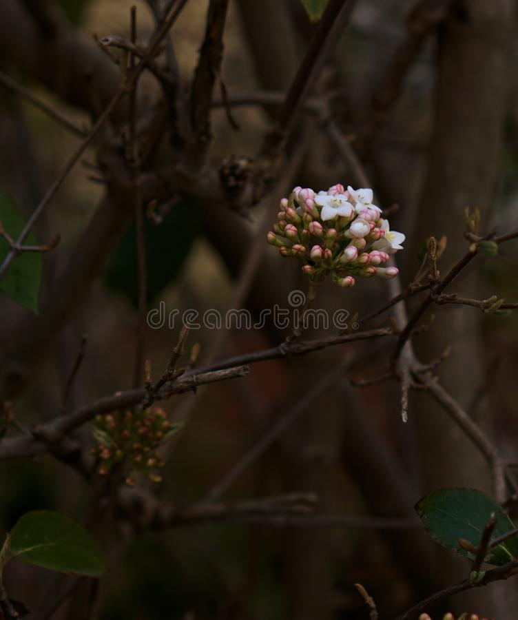 Inverno Daphne Flower fotografie stock