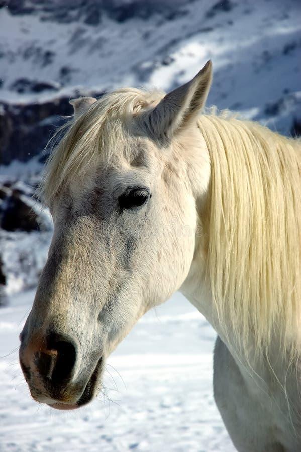 Inverno del cavallo bianco fotografia stock libera da diritti