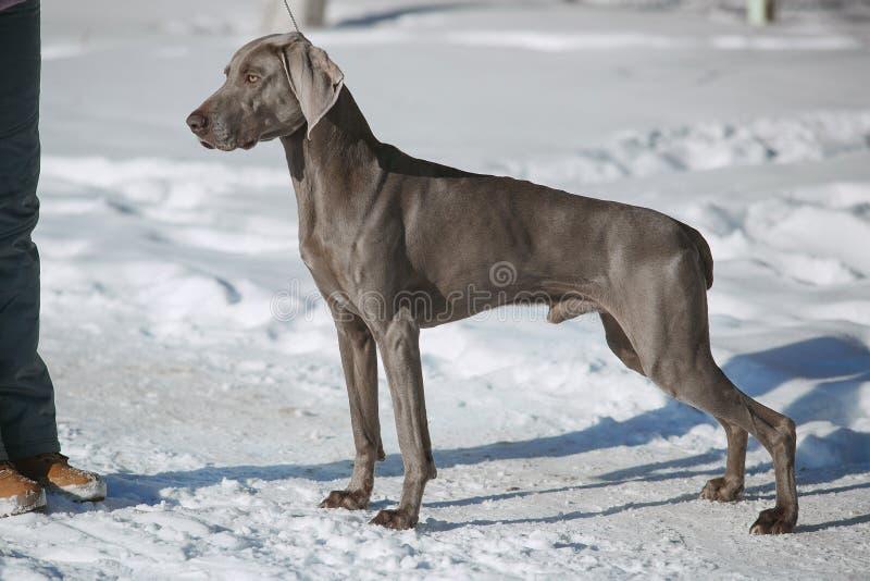 Inverno del weimaraner del puntatore di caccia nella neve immagine stock
