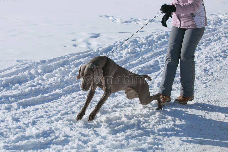 Inverno del weimaraner del puntatore di caccia nella neve immagine stock libera da diritti