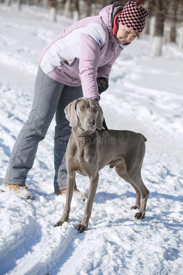 Inverno del weimaraner del puntatore di caccia nella neve fotografia stock