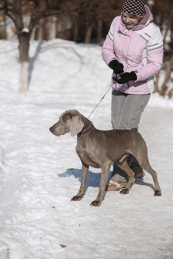 Inverno del weimaraner del puntatore di caccia nella neve immagini stock libere da diritti