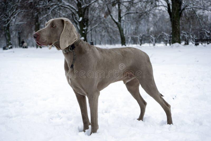Inverno del weimaraner del puntatore di caccia nella neve con l'operatore immagini stock