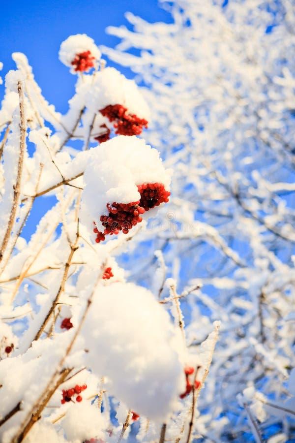 Inverno della sorba fotografia stock libera da diritti