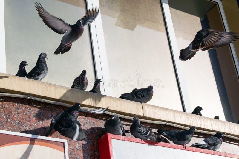 Inverno delle colombe degli uccelli che si siede sulla gronda della casa fotografia stock
