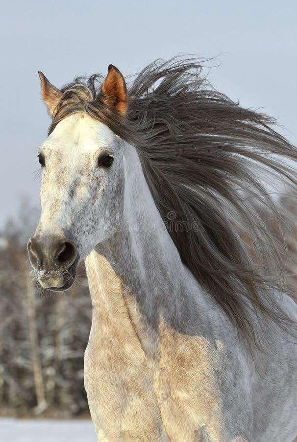 Inverno di galoppo di esecuzione del cavallo bianco immagine stock