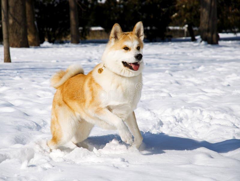 Inverno do cão de Akita foto de stock