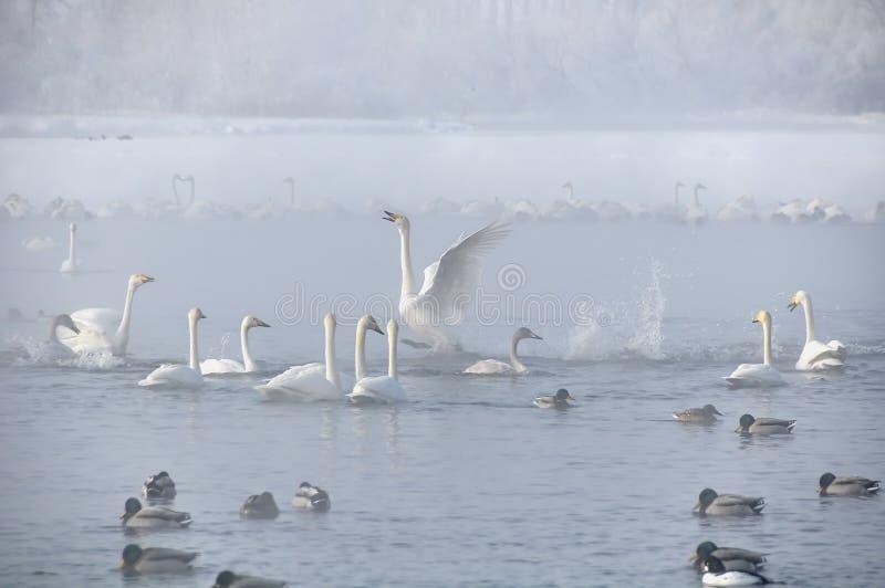 inverno do lago swans enevoado fotos de stock royalty free