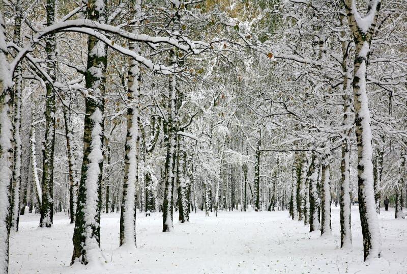 inverno do russo - floresta do vidoeiro imagens de stock