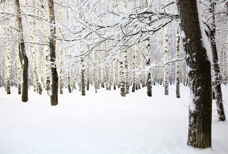 Inverno do russo no bosque do vidoeiro foto de stock