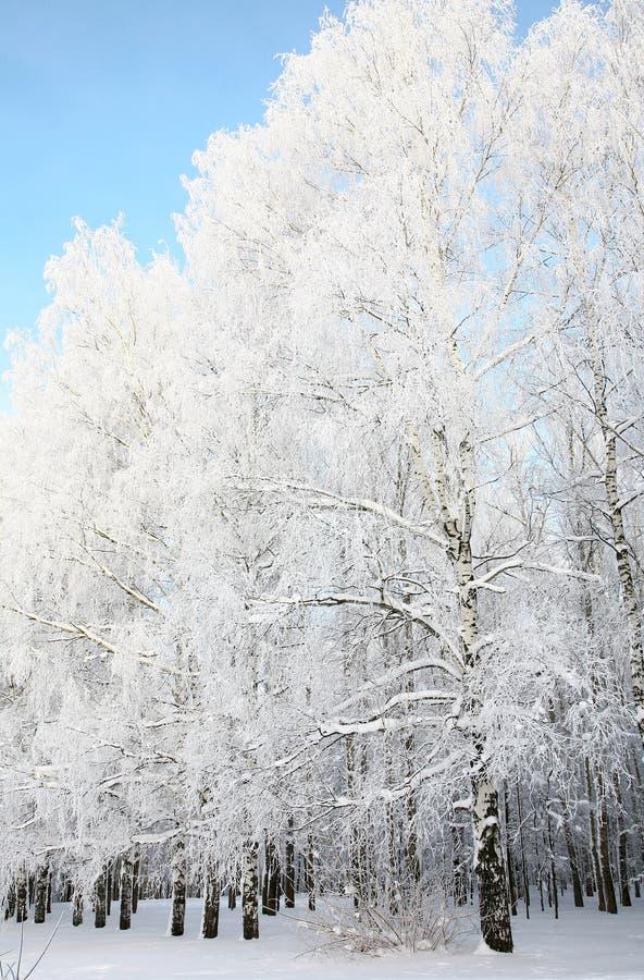 Inverno do russo no bosque do vidoeiro no fundo do céu azul fotografia de stock
