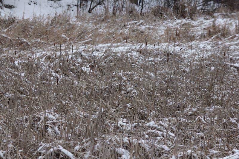 inverno do Typha do Cattail fotografia de stock royalty free