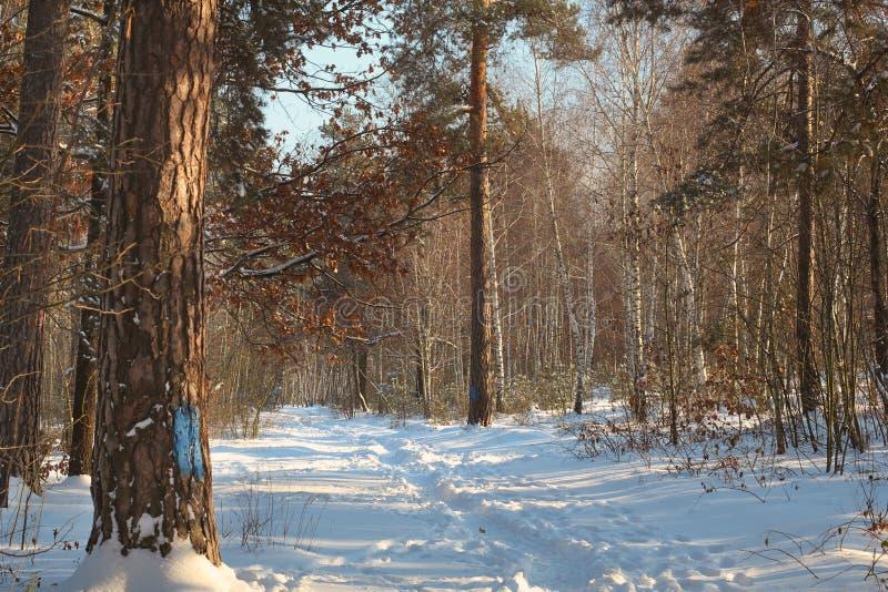 inverno em árvores de floresta do pinho com a passagem branca da neve Paisagem exterior da natureza das madeiras no dia ensolarad imagem de stock