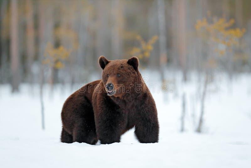 Inverno in Europa Bello mammifero marrone che cammina intorno al lago con neve e ghiaccio Creatura pericolosa in legno della natu fotografie stock