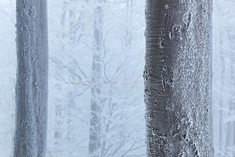 Inverno in foresta, alberi con la brina Paesaggio blu e bianco della foresta del PF del dettaglio della neve di inverno nell'albe fotografie stock