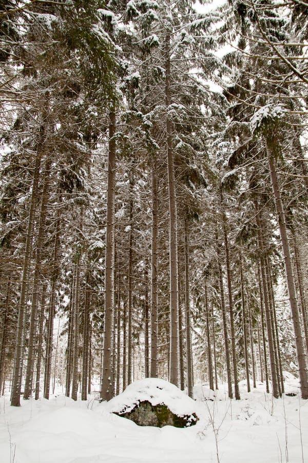 Inverno Forrest fotos de stock royalty free