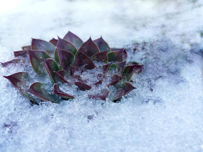 Inverno innevato del houseleek, succulenti fotografia stock