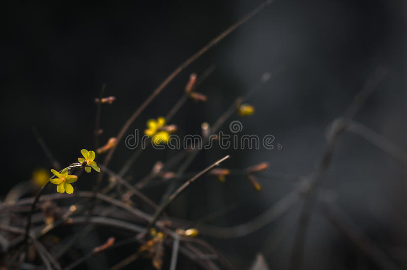 Inverno Jasmine6 foto de stock