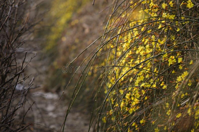 Inverno Jasmine6 fotografia de stock royalty free