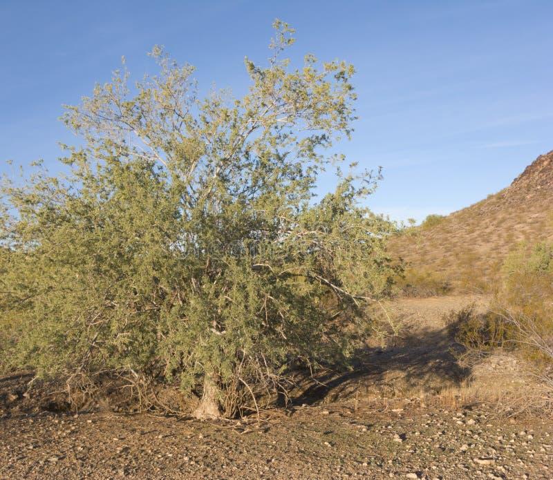 Inverno na conserva do deserto, Phoenix, AZ imagem de stock royalty free