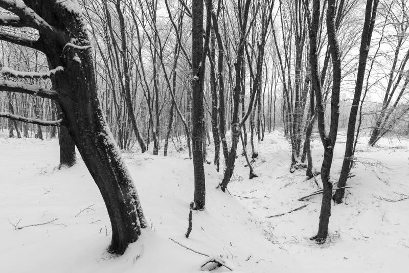 inverno na floresta com as árvores cobertas da neve, estação abstrata do xmas da paisagem fotos de stock royalty free