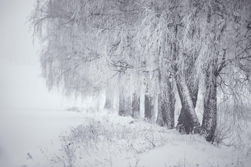 inverno preto e branco Árvores de vidoeiro na névoa fotografia de stock royalty free