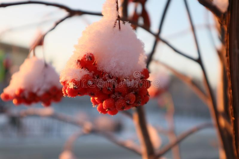 inverno Rowan fotografia de stock